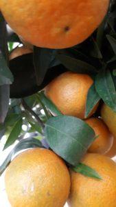 arancia vivai valenti piante